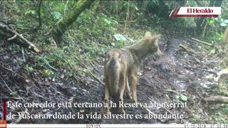 Registran mapaches y coyotes en corredor biológico hondureño