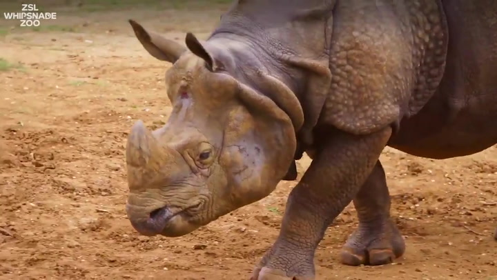 World Rhino Day: Rhino gets 'life-changing' eye surgery at ZSL Whipsnade Zoo