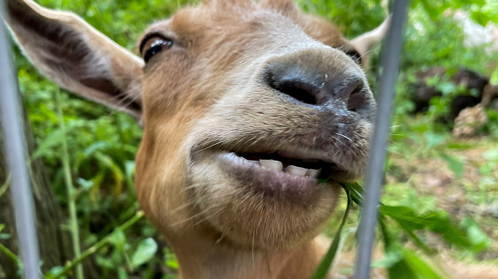 Dozens of goats released in New York park to eat weeds