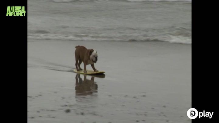 Utrolig bulldog surfer og skater bedre end de fleste!