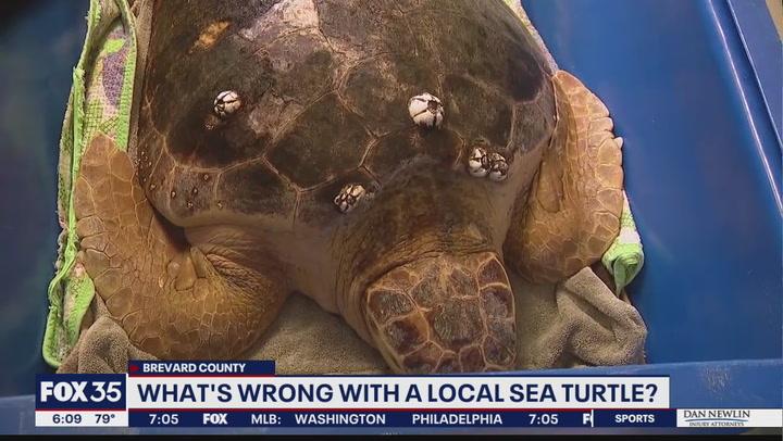 Loggerhead sea turtle found swimming circles undergoes MRI scan