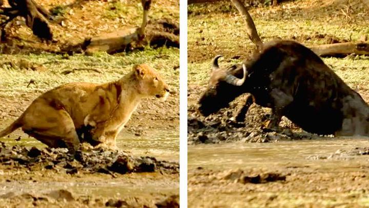 Løve mot bøffel