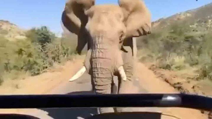Schwarzenegger angrepet av elefant på safari