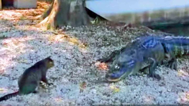 Uredd pusekatt beskytter barna mot alligatoren