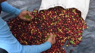 Caficultores hondureños en quiebra por bajos precios y migración