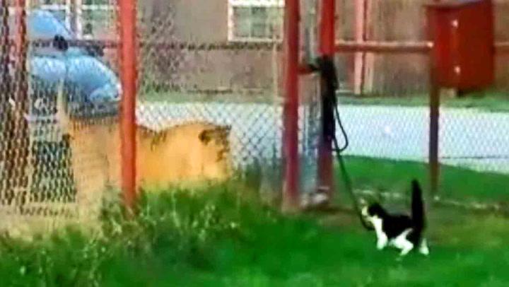 Modig katt ypper seg mot fullvoksen løve