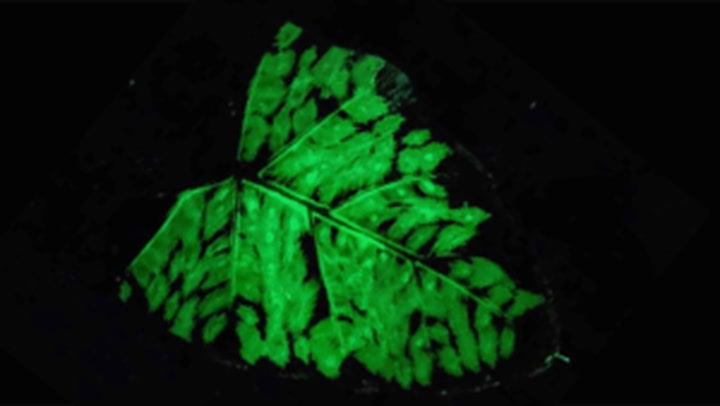 Scientists develop rechargeable, glow-in-the-dark plants