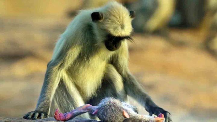 Sørgende aper knuser hjerter verden over