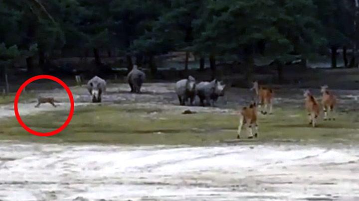 Geparder rømte inn til antilopene - Så kom redningen