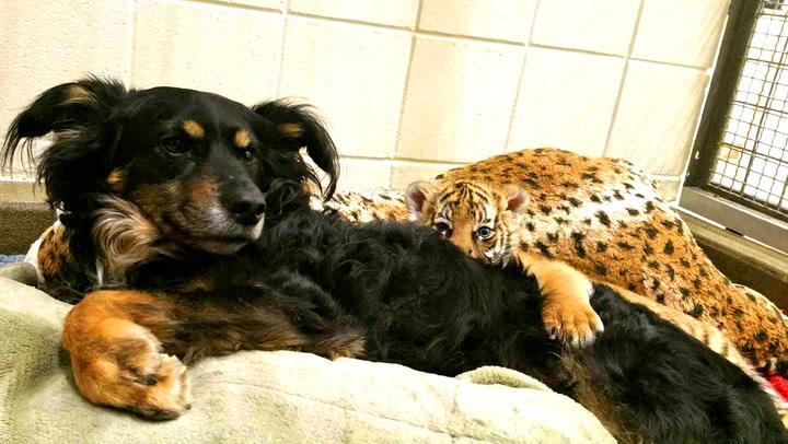 Tigerungene blir oppdratt av en hund