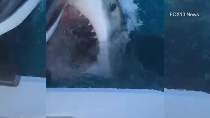 Graban a un gran tiburón blanco atacando un barco en Florida