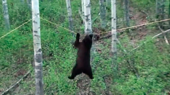 Se hva bjørnen vil gjøre for en matbit