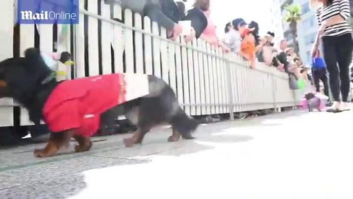Teckels racen in Melbourne
