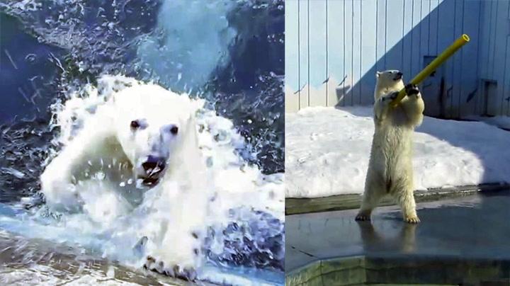 Isbjørnen Milk vil bare leke