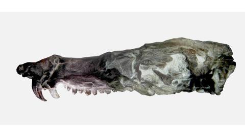 Hallan mamiferoide similar a la