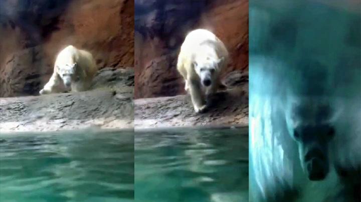 Isbjørn vil også leke sisten