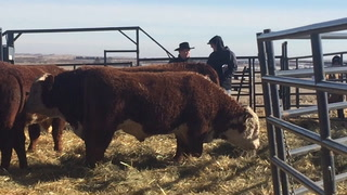 Hereford cattle: A Stroh family tradition.
