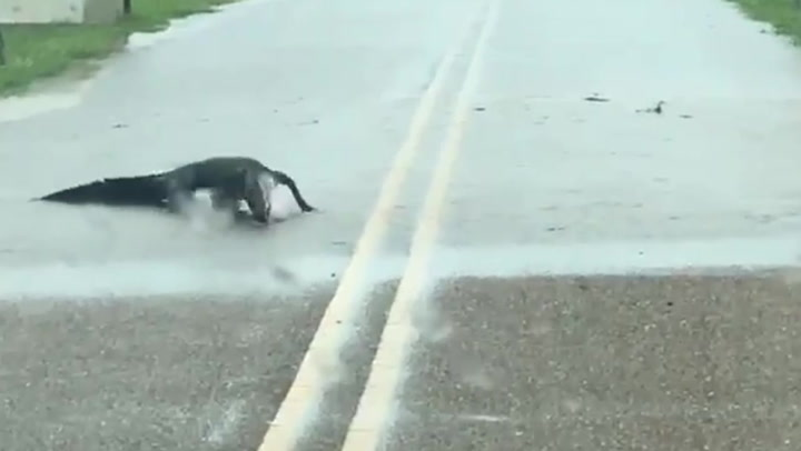 Moment hungry alligator gobbles frog while blocking traffic in Texas flood