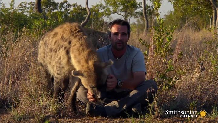 Image of: Lion Smithsonian Magazine Why Do Hyenas Laugh Smithsonian