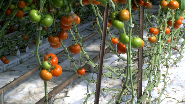 North Dakota greenhouse, Meadowlark Garden, grows tomatoes nearly year round for local grocery stores.