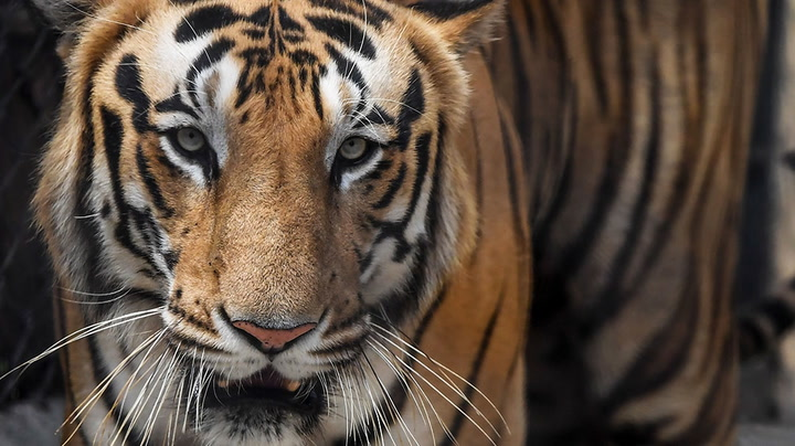 Celebrities and campaigners join forces for International Tiger Day