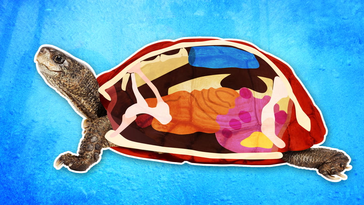 Here's what you'll find inside a turtle's shell