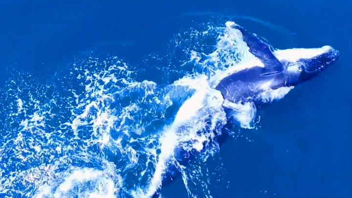 Her danser hvalkalven som om ingen ser den