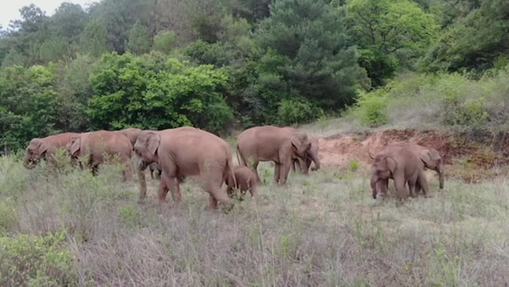 Wild elephant herd continues epic journey through China