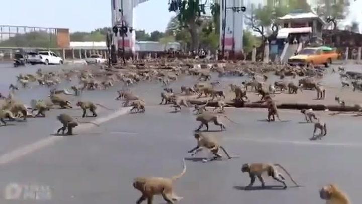 Los monos se adueñan de una ciudad tailandesa y causan el caos