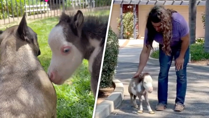 Meet Peabody, the 17-inch tiny horse given a new lease of life