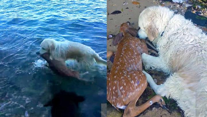 Hunden Storm reddet hjortekalv fra drukningsdøden