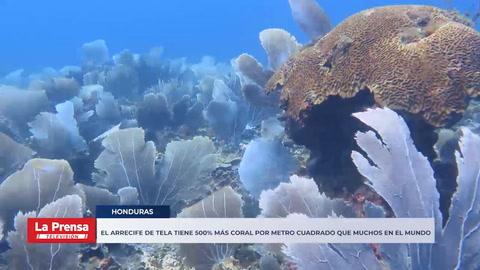 El arrecife de Tela tiene 500% más coral por metro cuadrado que Roatán y muchos en el mundo