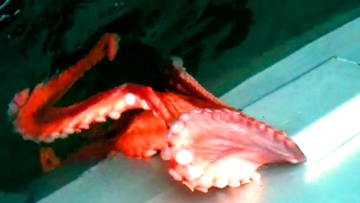 Et bittelite hull var alt blekkspruten trengte for å flykte
