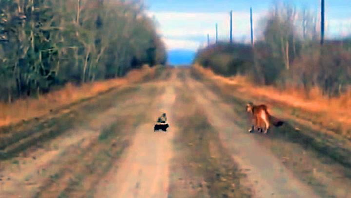 Pysete puma møtte overmann i fryktløs stinkdyr