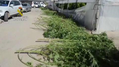 Incautan 372.000 plantas de cannabis en España