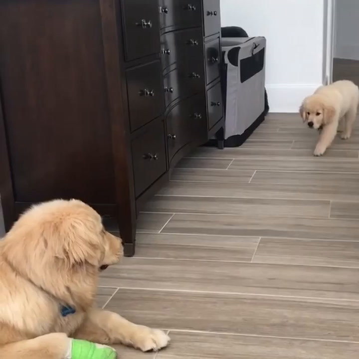 cdd8e48ab1b16 This Golden Retriever Puppy s Sneak Attack Is The Cutest Thing You ll See  Today - Digg