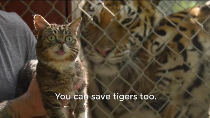 Søte katter skal redde tigrene