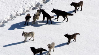 Disrupting Ecosystems with Wolves