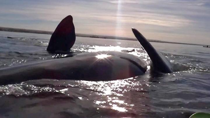 Her løfter hvalen opp kajakken