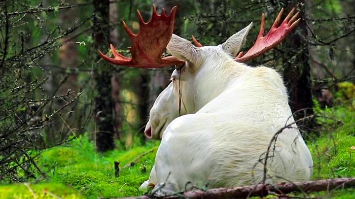 Lasse fant sjelden elg i svenske skoger