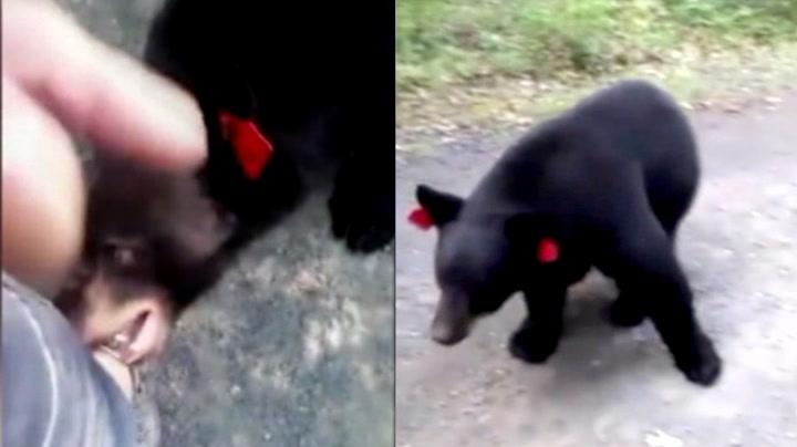 Bjørnen er farlig nær å ta en jafs av Stephanie