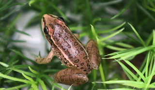 Endangered frogs released at Springs Preserve