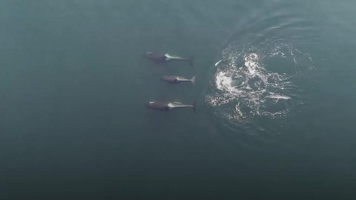 WATCH: Drone footage reveals social secrets of killer whales