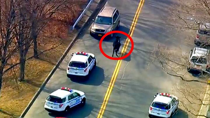 Okse rømte fra slakteren med politiet i hælene