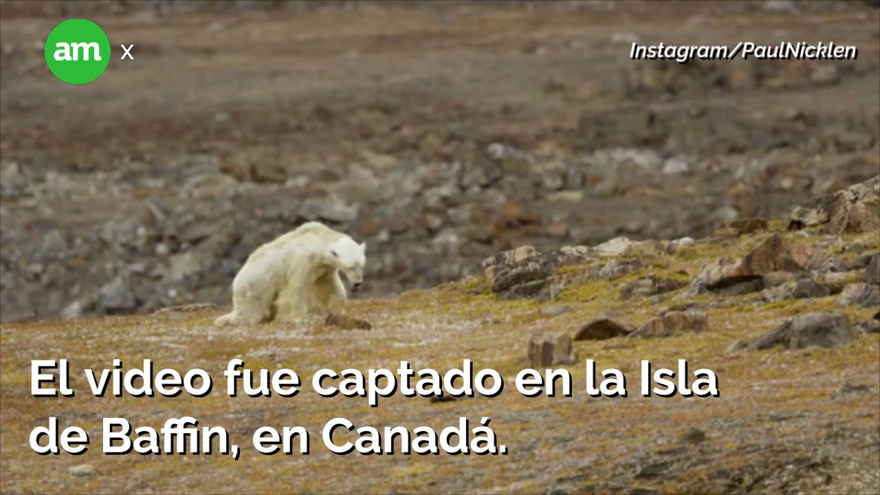 El cambio climático: Oso polar muriendo de hambre