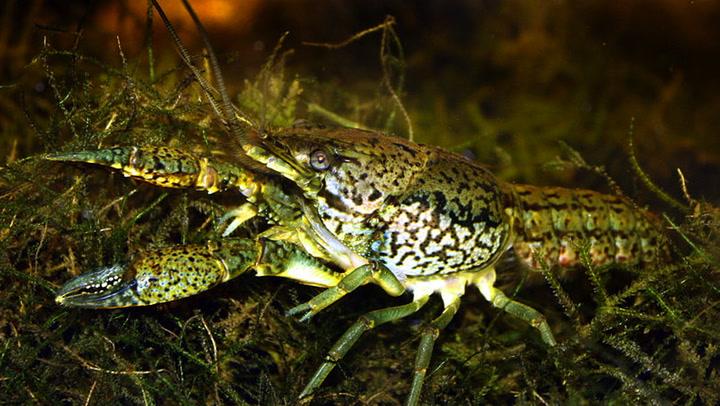 Así son los Procambarus fallax forma virginalis, los cangrejos que han invadido un cementerio de Bélgica