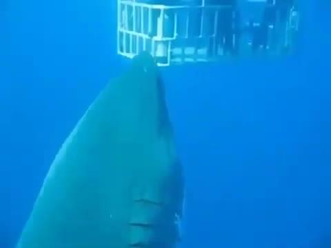 Buzos graban al mayor tiburón blanco visto hasta ahora