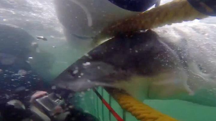 Hvithaien gikk lynraskt til angrep på de nygifte