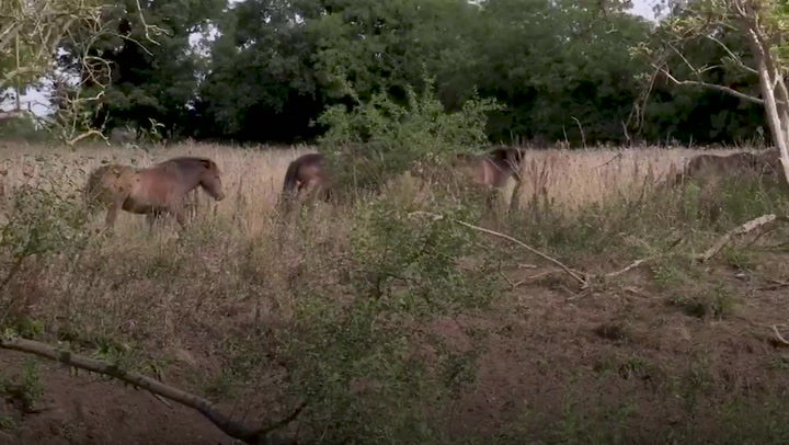 Norfolk rewilding project sees ponies and pigs grazing unproductive land