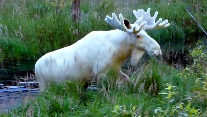 Svenske Hans fant sjelden elg etter tre års leting